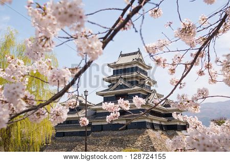 Matsumoto castle with spring cherry blossoms in Japan