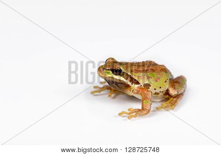 Close up of frog spring peeper on white surface. Selective focus on eye and nose.