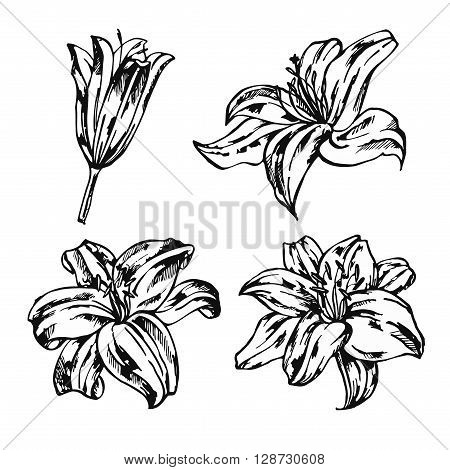 Set of lilies isolated on white background. Hand drawn vector illustration.Flower set: highly detailed hand drawn of Lily flowers.