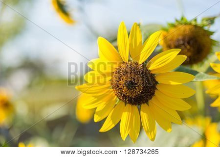 Old Sunflower With Petal And Sunlight