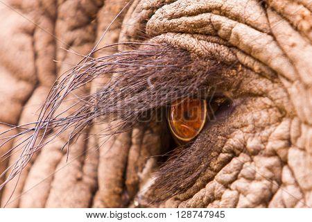 Close up macro shot of an elephant eye