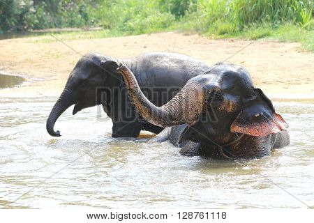 Elephant Splashing With Water While Taking A Bath