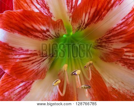 Close up of an Amaryllis flower with stamens and the pollen on them