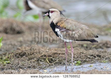 Southern Lapwing Standing On A Mudflat - Panama