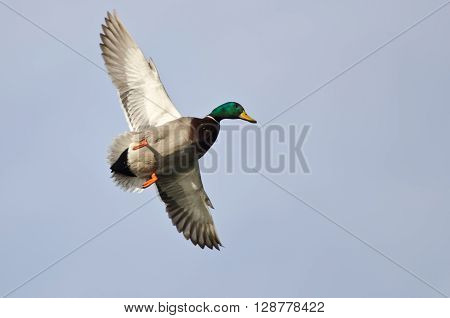 Male Mallard Duck Flying in a Pale Blue Sky