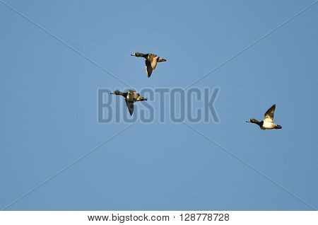 Three Ring-Necked Ducks Flying in a Blue Sky ** Note: Soft Focus at 100%, best at smaller sizes