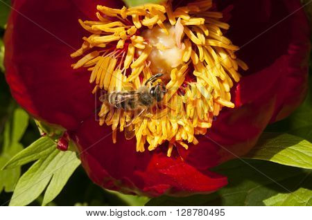 This beautiful bees on a red peony flower