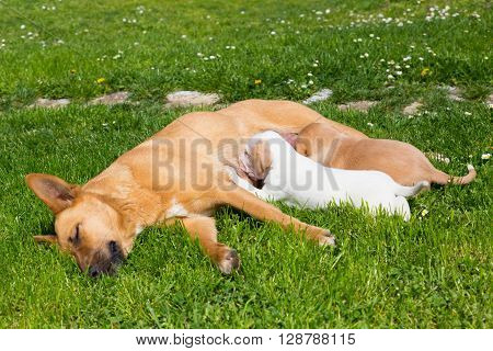 Mixed-breed bitch breast feeding her cute little puppies outdoors on a meadow on a sunny spring day.