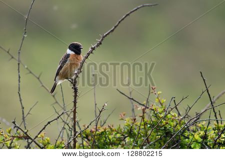 Stonechat (Saxicola torquata) male perched on bush. Bird in the family Turdidae calling from perch on bramble showing black head and white collar