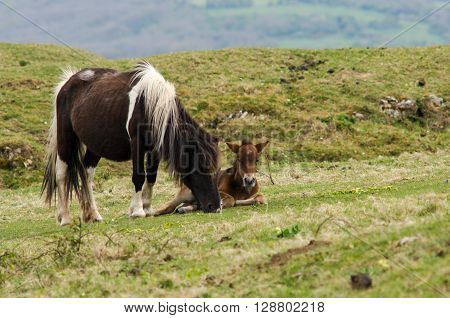 Dartmoor pony male foal lying next to mare. A wild mare with baby. Hardy horses that have been feral for centuries in parts of the UK