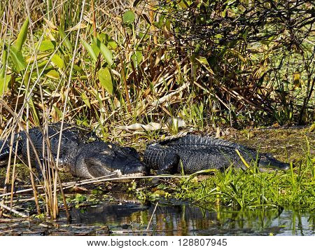Pair of American Alligators resting with eyes closed on marshy land near water in Florida Wetlands