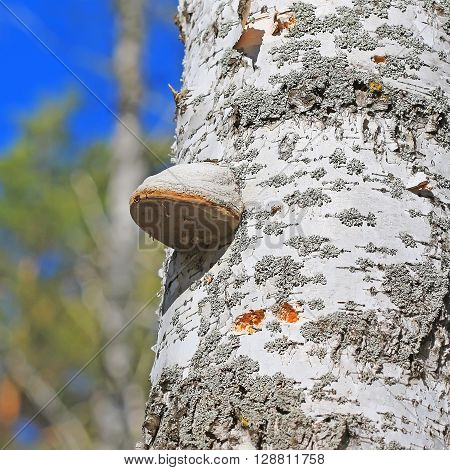 The fungus is a saprophyte - a real Tinder fungus ( Fomes fomentarius ). The tree trunk is covered with young Birch mushrooms