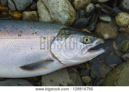 Wild fresh caught salmon fish from Alaska