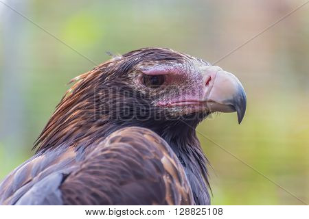 Australian Black Breasted Buzzard. Black-breasted buzzards are one of Australia's largest birds of prey standing at 50-60cm tall with a 145-155cm wingspan.