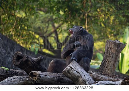 Chimpanzee ( Pan troglodytes ) is sitting on a log with its mouth open