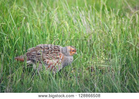 Closeup grey partridge (Perdix) in grass in meadow