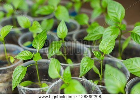 Pepper seedlings growing in pots - selective focus