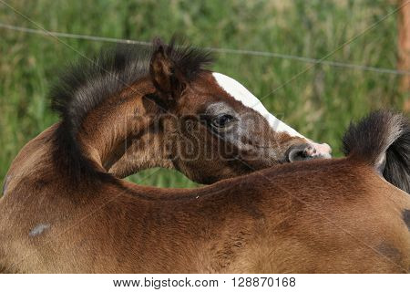 Amazing brown foal alone on pasturage looking back