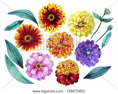 Watercolor zinnia set. Floral design element isolated on white background