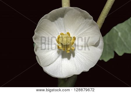 Mayapple flower on dark background. Mayapple or podophyllum is an herbaceous perennial plant in the family Berberidaceae. It is seen here in a woody habitat.