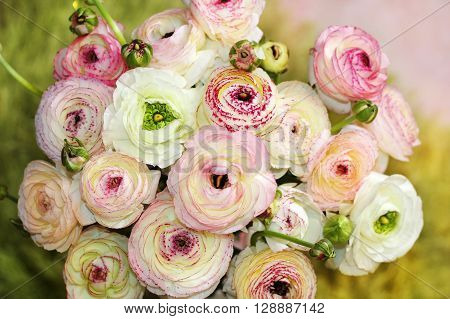 flowers of colored peonies as floral background or theme for Valentine's Day
