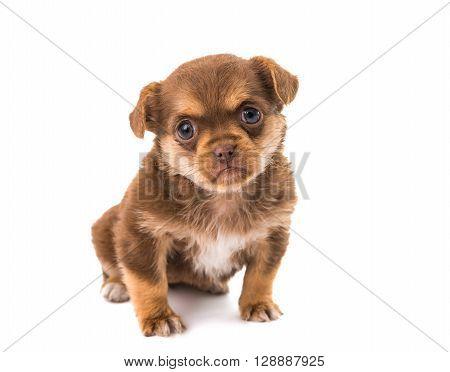 puppy isolated on white background vertebrate, weenie