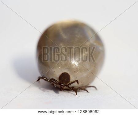 fed tick on white background extreme closeup