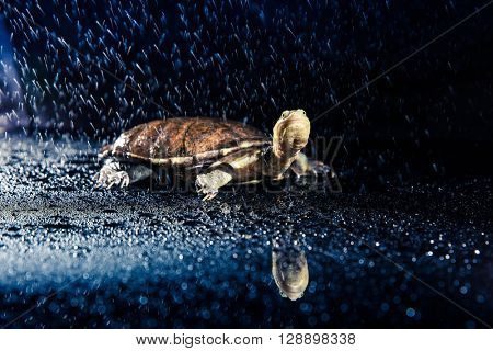 Australian eastern long-necked turtle in heavy rain on black mirror