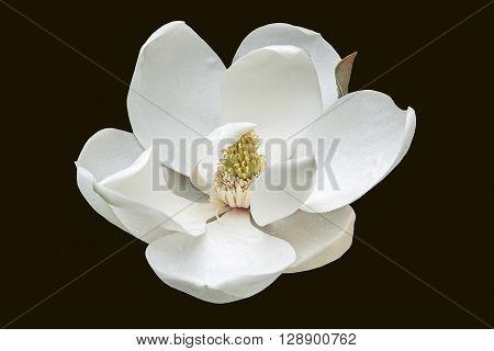 Southern magnolia (Magnolia grandiflora). Called Evegreen Magnolia Bull Bay Bullbay Magnolia Laurel Magnolia and Loblolly Magnolia also. Close up image of flower isolated on black background