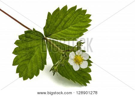 Flower of wild strawberries Fragaria ananassa isolated on white background