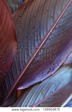 Rain droplets on canna leaves (Canna x generalis)