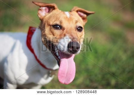 Heavy Breathing Jack Russell Terrier Puppy In Green Park