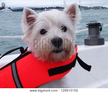 West highland white terrier westie dog on a sailboat in a life jacket