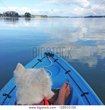 West highland white terrier westie dog kayaking on clear water with clouds reflected in the sea