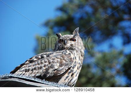 Eurasian eagle-owl watching with large eyes, bird