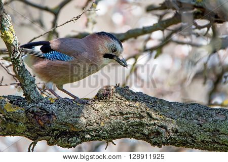 Beautiful Eurasian jay ( Garrulus glandarius ) is sitting on oak