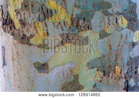 Close up of colorful patchy eucalyptus tree trunk texture. Mottled bark of Australian gum tree