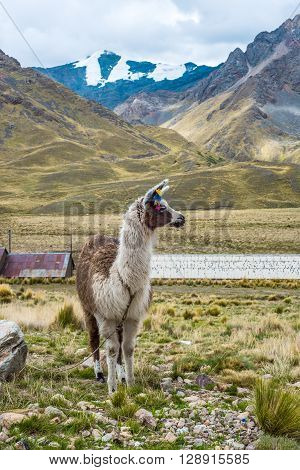 Alpaca in the tourist spot of Sacred Valley on the road from Cuzco Peru