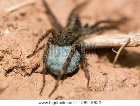 Wolf spider (Pardosa sp.) egg sac. Blue silk sac containing eggs attached to spinarets of female spider in the family Lycosidae ** Note: Shallow depth of field