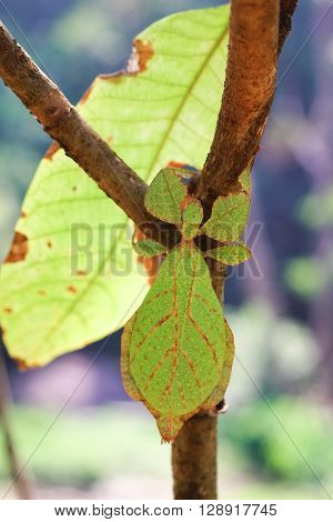 Female of Phyllium sp. The family Phylliidae contains the extant true leaf insects or walking leaves, which include some of the most remarkably camouflaged leaf mimics in the entire animal kingdom
