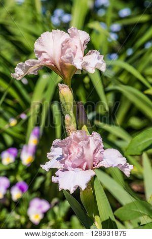 Close up of light pink Intermediate Bearded Iris Flower 'Ballycastle' in garden.