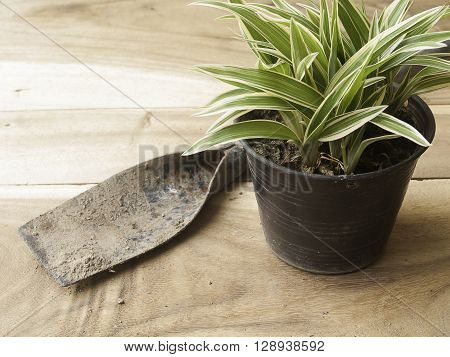 black plastic pot of Chlorophytum comosum with spade on wood background poster