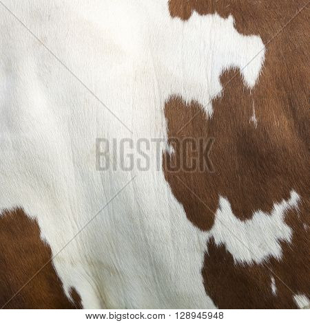 closeup of square part of cowhide on side of red and white cow
