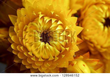 Deep yellow strawflowers, Helichrysum, everlasting daisies, in closeup.