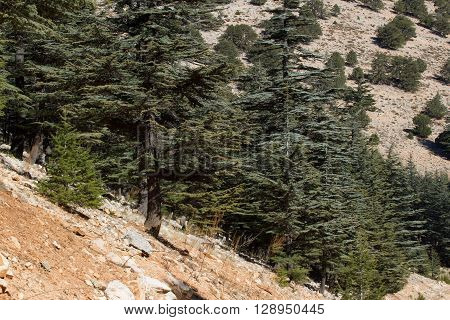 Lebanese cedar tree  the forest in the mountains, Turkey