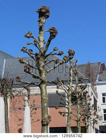 The crowns of  newly pollarded street trees, (Platanus) with all side branches removed., growing in an urban environment.