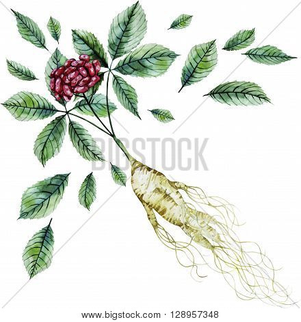Watercolor ginseng root and berries isolated on white background. Natural spices
