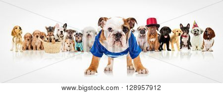 english bulldog puppy wearing blue clothes standing in front of a large group of dogs on white background