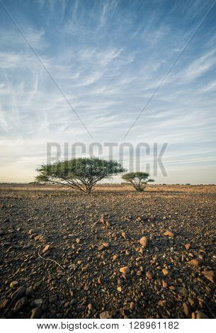 Acacia tree on a stark landscape against blue sky. Arabian landscape. Stock photography.