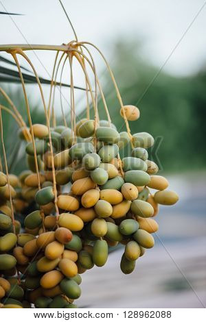 Close up of bunch of green dates on the palm tree. Date farming in the gulf.